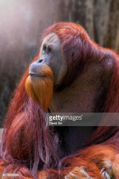portrait of orangutan, borneo - island of borneo stock pictures, royalty-free photos & images