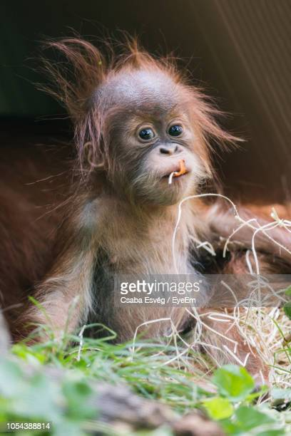 portrait of orangutan infant eating on field - young animal stock pictures, royalty-free photos & images
