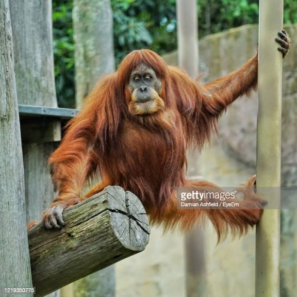 portrait of orangutan on wood - melbourne zoo stock pictures, royalty-free photos & images