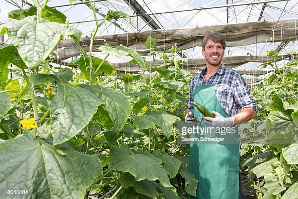 Portrait of organic farmer harvesting cucumbers in polytunnel