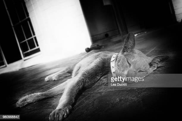 portrait of oriental shorthair sleeping - oriental shorthair - fotografias e filmes do acervo