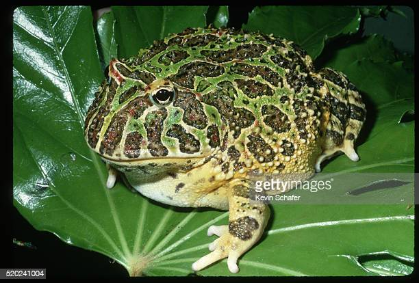 portrait of ornate horned frog on leaf - horned frog stock photos and pictures