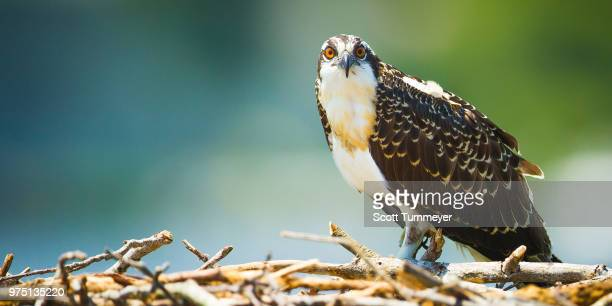 portrait of osprey (pandion haliaetus) sitting on dry twigs, reedville, virginia, usa - fischadler stock-fotos und bilder
