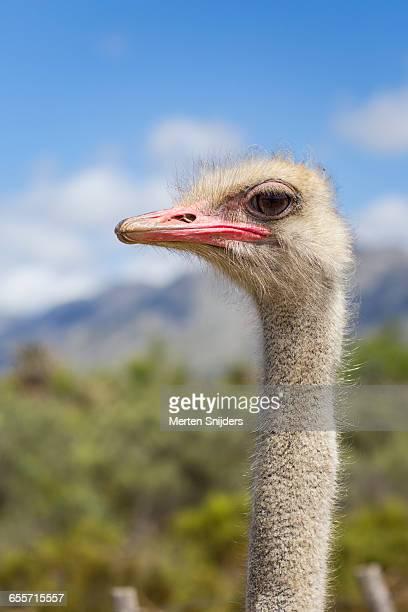 portrait of ostrich bird - ostrich stockfoto's en -beelden