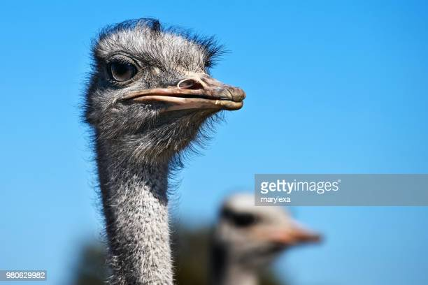 portrait of ostrich - one animal stock photos and pictures