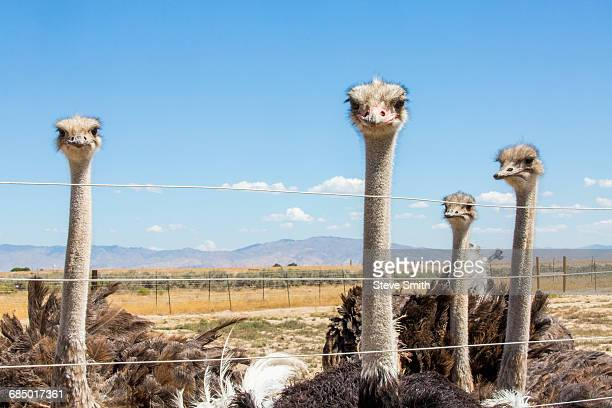 Portrait of ostriches behind fence