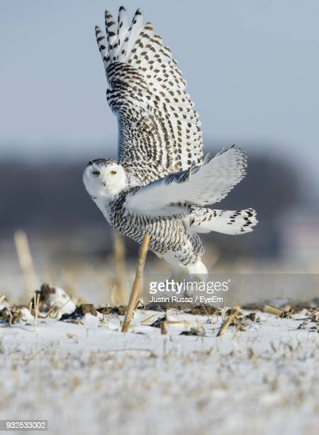Portrait Of Owl Flying Over Snow Covered Field
