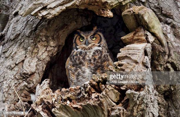portrait of owl in tree trunk - great horned owl stock pictures, royalty-free photos & images