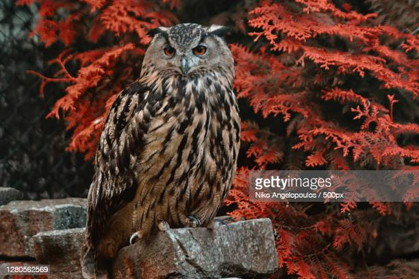 portrait of owl perching on rock,siegen,germany - eurasian eagle owl stock pictures, royalty-free photos & images