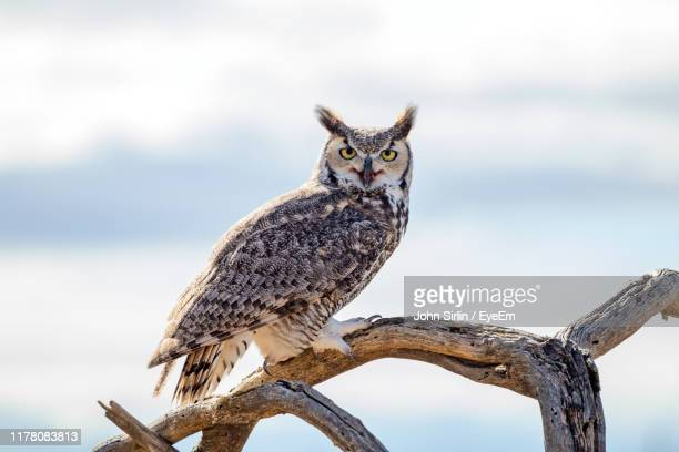 portrait of owl perching on tree - great horned owl stock pictures, royalty-free photos & images
