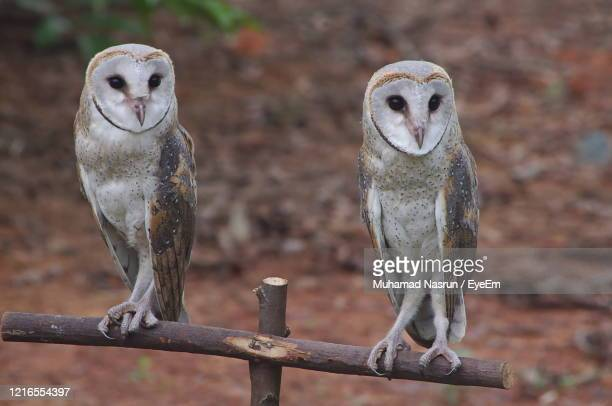 portrait of owl perching outdoors - muhamad nasrun stock pictures, royalty-free photos & images