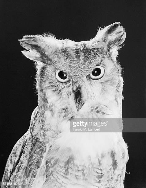 portrait of owl - vertebrato foto e immagini stock