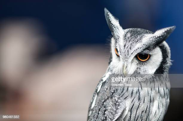 portrait of owl - chouette blanche photos et images de collection