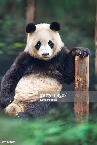 portrait of panda (ailuropoda melanoleuca), chengdu, sichuan, southwest china - giant panda stock pictures, royalty-free photos & images