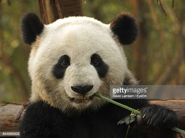 portrait of panda eating twig - panda stock pictures, royalty-free photos & images