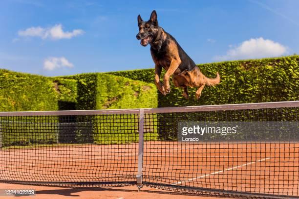 テニスコートの血統純粋な品種の犬の肖像画 - 訓練犬 ストックフォトと画像