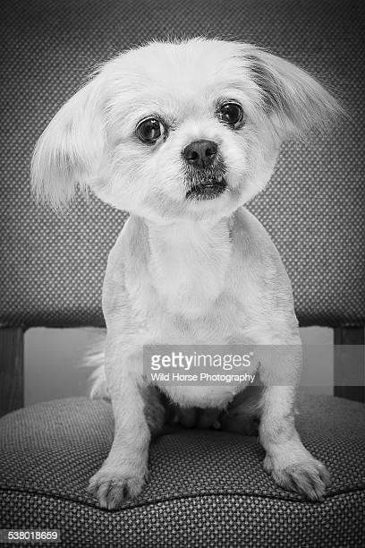 Portrait of pekingese dog