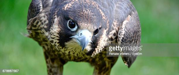portrait of peregrine falcon - peregrine falcon stock photos and pictures