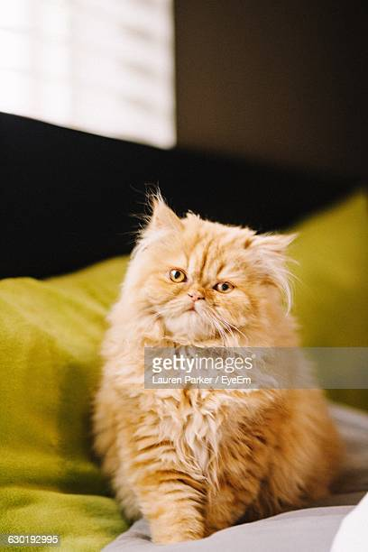 portrait of persian cat relaxing on couch at home - persian cat stock pictures, royalty-free photos & images