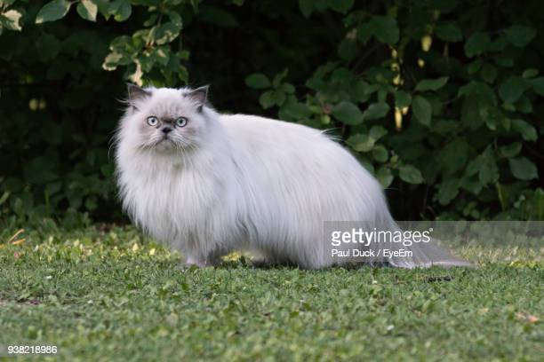 portrait of persian cat standing on field - persian cat stock pictures, royalty-free photos & images