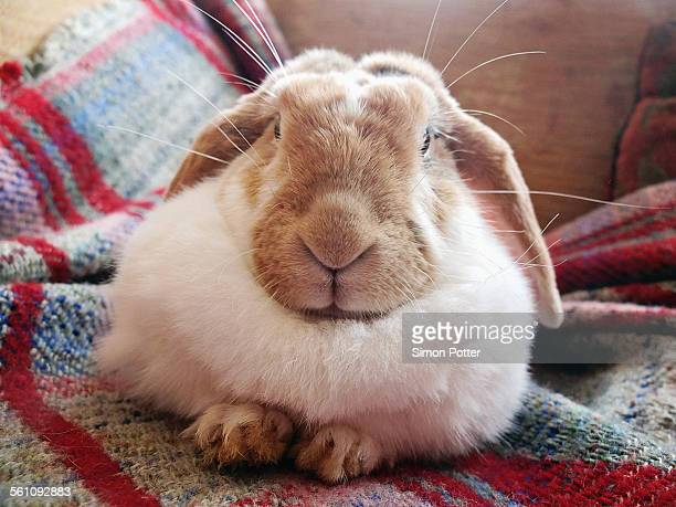 portrait of pet rabbit lying on sofa rug - rabbit stock pictures, royalty-free photos & images