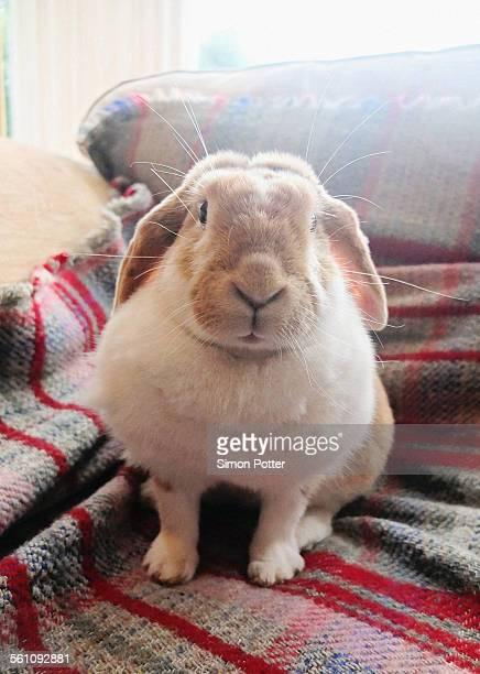 Portrait of pet rabbit sitting up on sofa rug
