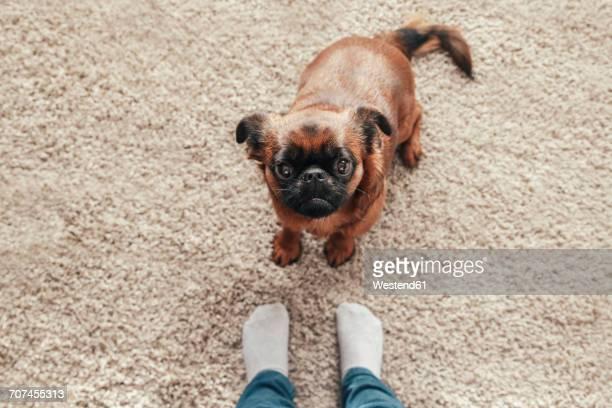Portrait of Petit Brabancon on carpet looking up