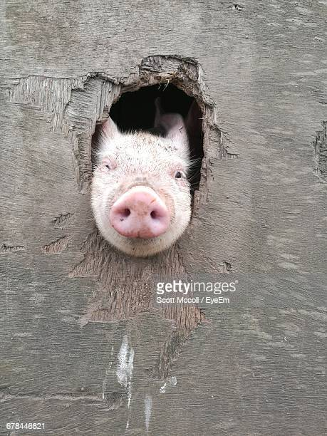 portrait of pig peeking through hole on wooden plank - pig nose stock pictures, royalty-free photos & images