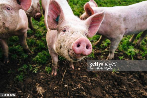 portrait of pig standing in farm - livestock stock pictures, royalty-free photos & images