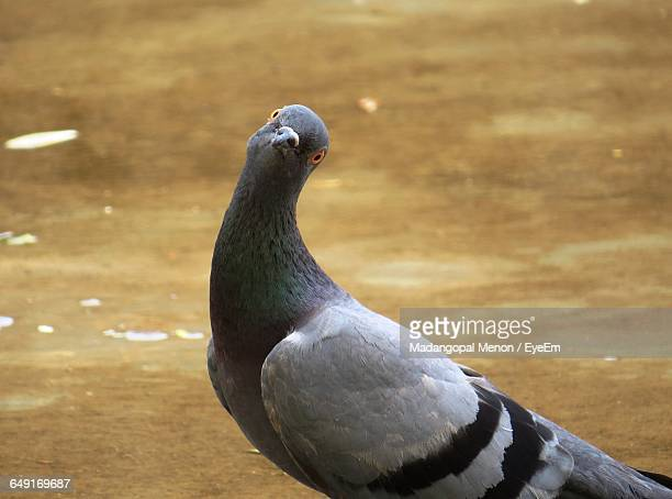 portrait of pigeon on field - pigeon stock pictures, royalty-free photos & images