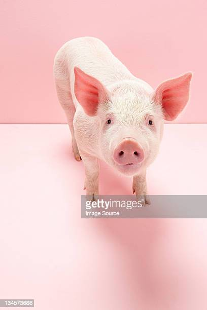 portrait of piglet, studio shot - pig stock pictures, royalty-free photos & images