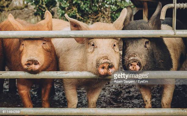 Portrait Of Pigs Looking From Metallic Fence In Ranch