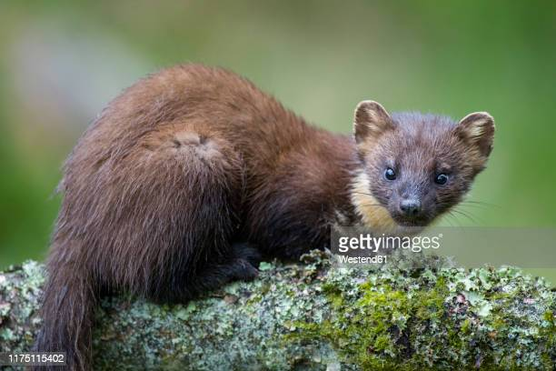 portrait of pine marten on tree trunk - pine marten stock pictures, royalty-free photos & images
