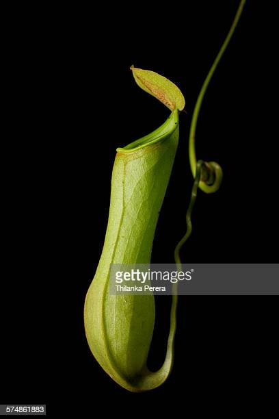portrait of pitcher plant - carnivorous stock pictures, royalty-free photos & images