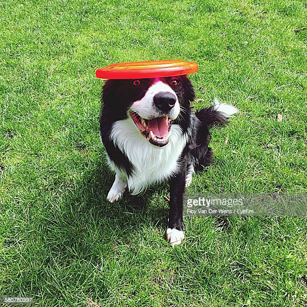 Portrait Of Playful Border Collie On Grassy Field