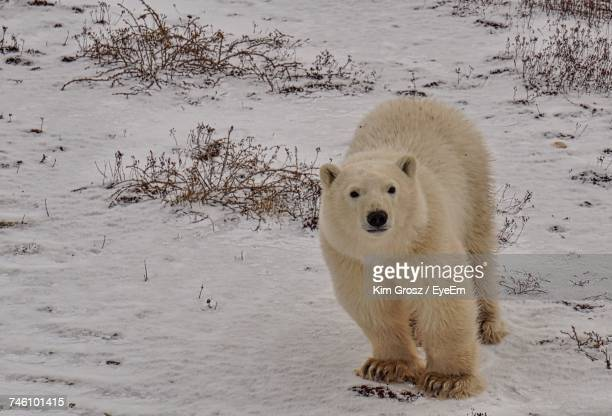 portrait of polar bear - hudson bay stock photos and pictures
