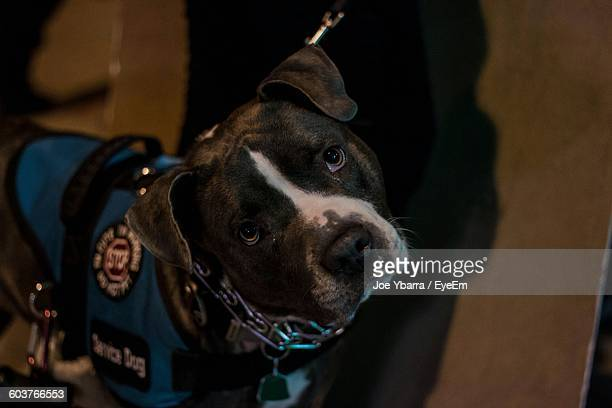 portrait of police dog on sidewalk - police dog stock photos and pictures