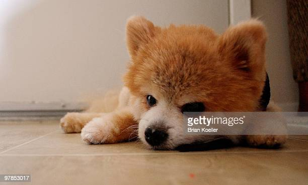 portrait of pomeranian dog  - pomeranian stock photos and pictures