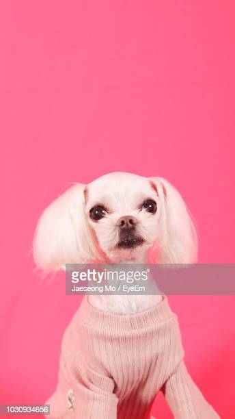 portrait of poodle against pink background - animal costume stock pictures, royalty-free photos & images