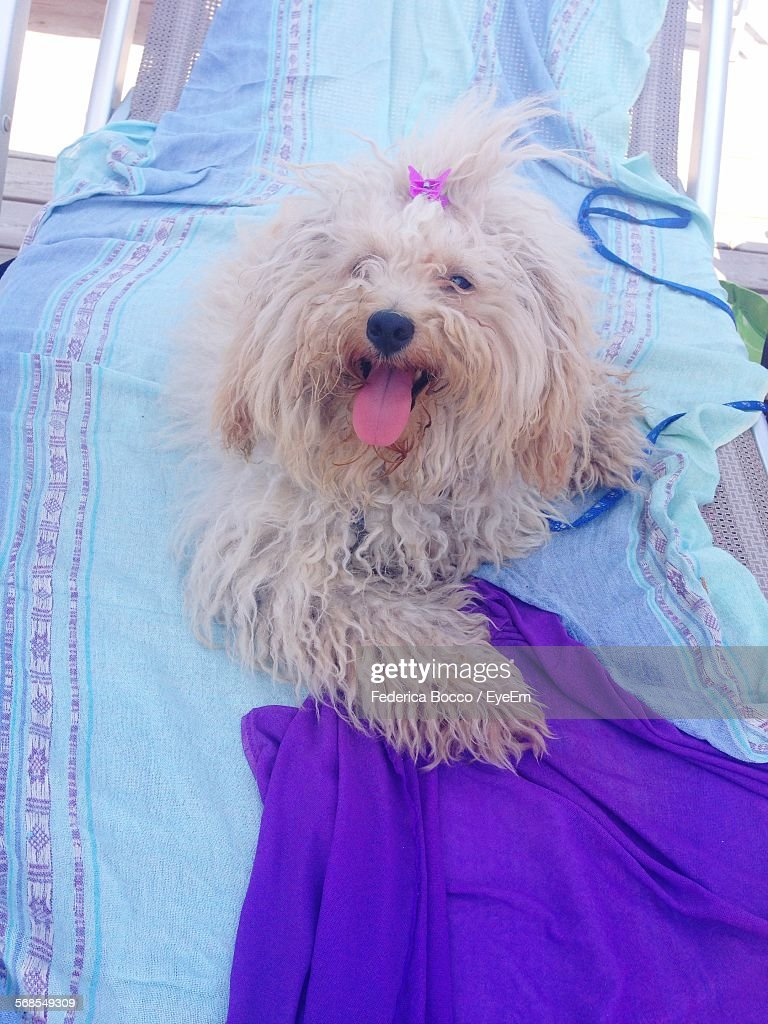 Portrait Of Poodle Dog On Beach : Stock Photo