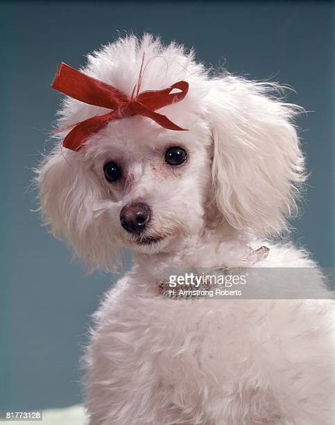 portrait of poodle with red bow and ruby collar. - hair bow stock pictures, royalty-free photos & images
