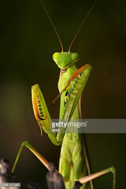portrait of praying mantis with eyes closed - praying mantis stock photos and pictures