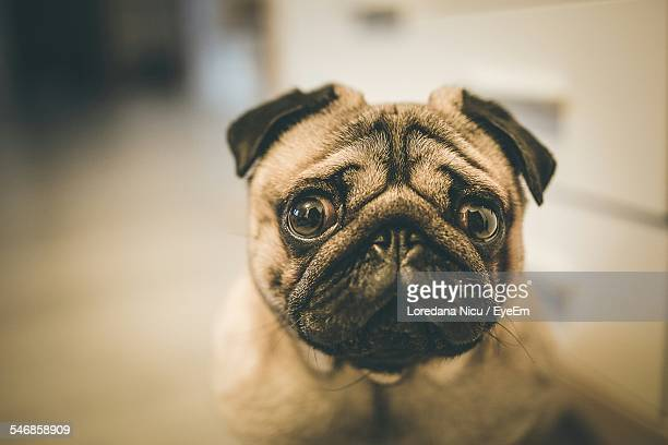 Portrait Of Pug At Home