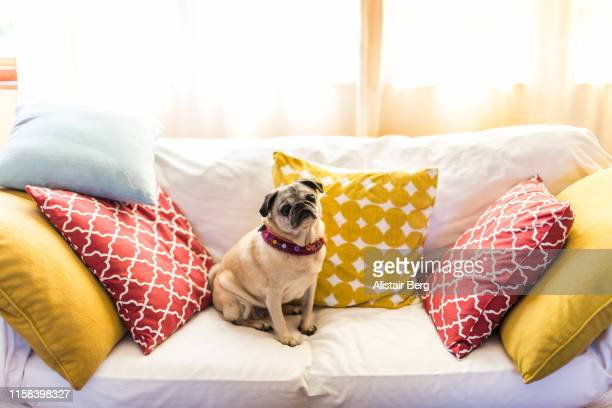 portrait of pug dog sitting on a sofa - 愛玩犬 ストックフォトと画像