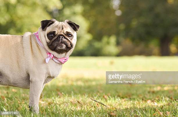 Portrait Of Pug Standing On Grassy Field