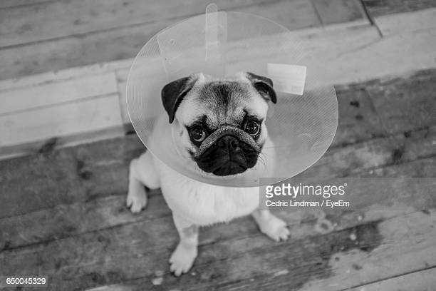 portrait of pug with protective cone collar - cone shape stock photos and pictures