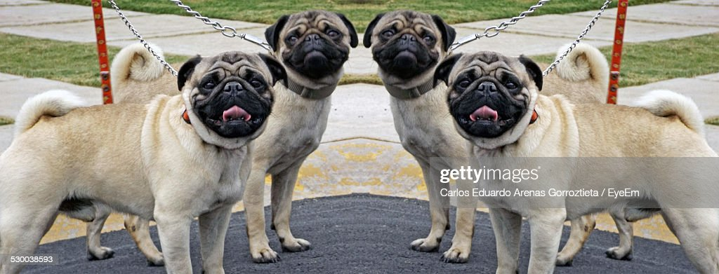 portrait-of-pugs-chained-in-park-picture