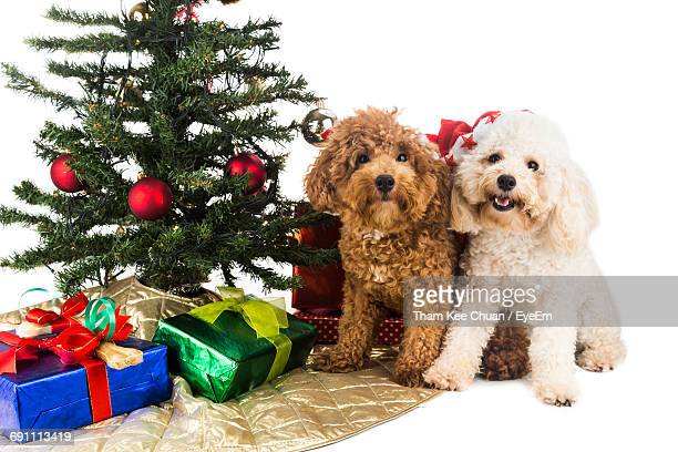 Portrait Of Puppies By Gifts And Christmas Tree Against White Background