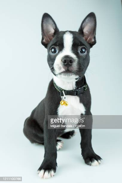 portrait of puppy against white background - collar stock pictures, royalty-free photos & images