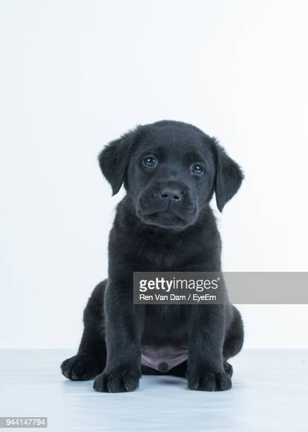 Portrait Of Puppy Against White Background